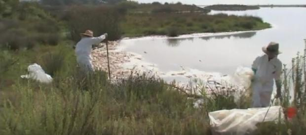 Massive fish die-off creates smelly mess in Malibu. [Image courtesy – ABC7, YouTube video]