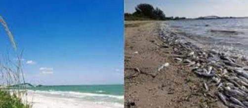 EE.UU./ Marea roja afecta varias zonas de Florida, y mata miles de especies marinas