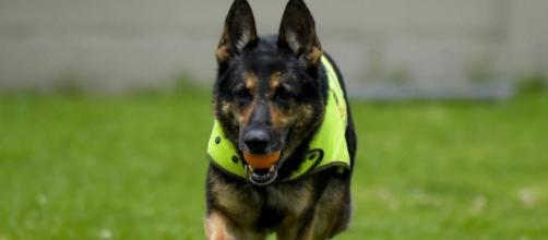 Sombra, une chienne de la brigade des stupéfiants colombien, est visé par une mise à prix de 60 000€