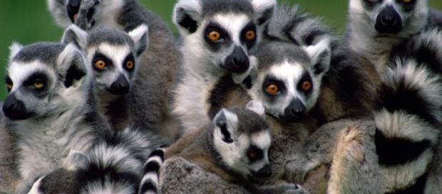 Lemur de Madagascar en peligro de extinción por culpa del hombre