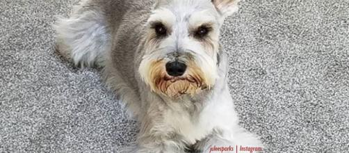Top 8 dog haircuts on Instagram - Inage credit - juleesparks | Instagram