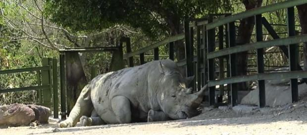 Male rhino, probably feeling sad when he couldn't mate after attacking a family's car. [Image Mauricio Treviño/YouTube]