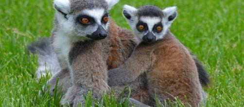 Celebrities like Kirstie Allie, who owns lemurs, splurge on exotic animals for pets. [Images Source: Ben_Kerckx – Pixabay]