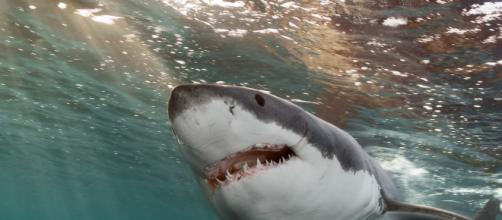 Massachusetts, squalo salta fuori dall'acqua a pochi metri dal biologo marino