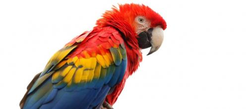 One Macau parrot interrupted a cricket match while another swore out the firemen trying to rescue her. [Image Pixabay]