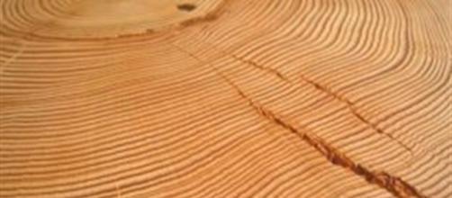Anelli del legno in una sezione trasversale
