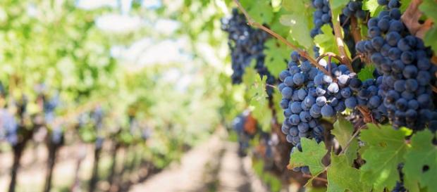 Thieves stole a winery's entire grape crop overnight in Virginia, USA. [Image PIxabay]