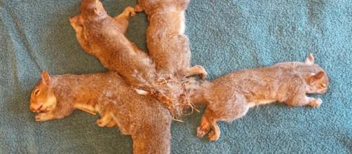 Five juvenile squirrels became entangled with each other's tails and nest material. [Image Wisconsin Humane Society]