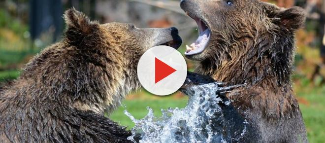 Wyoming: Grizzly bear and cub killed by wildlife officers after death of hunter guide