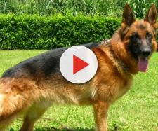Polemiche al consiglio comunale di Monza per il nome di un cane antidroga della polizia locale, Narco della Decima Mas: sarebbe troppo fascista.