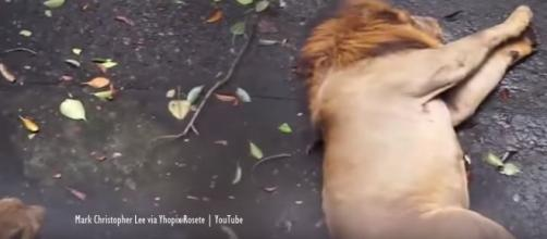 Manila Zoo reacts to viral video of lion allegedly having a seizure [Video] - Image credit - Mark Christopher Lee via Yhopix Rosete | YouTube