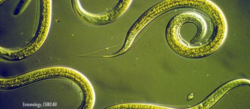 40,000-year-old worms found in permafrost revived in Russian laboratory - Image credit - Entomology, CSIRO