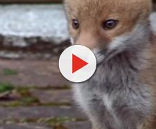 Croydon Cat Killer teuns out to be foxes scavenging off cats killed in traffic - Image credit - BBC via Fox Repellent Expert | YouTube