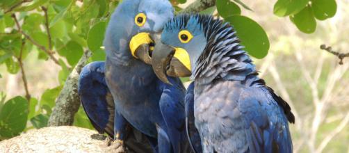 A Arara Azul, recentemente declarada como extinta da natureza, é exemplo do descaso com a ética ambiental.