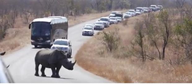 Rhino Cause Mega Kruger National Park Roadblock. [Image courtesy – Kruger National Park videos, YouTube]