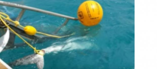 Sharks killed after attacks in north Queensland. [Image courtesy – ABC News (Australia) YouTube video]