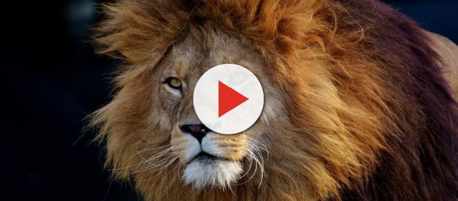South Africa: Escaped Kruger National Park lion strolls down major highway [Video]