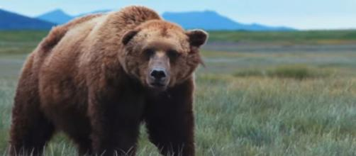 Grizzly bears returned federal protected status in yellowstone - Image credit - Seeker | YouTube