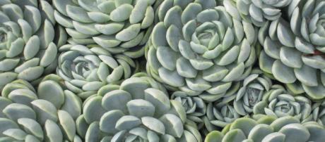 Suculentas são plantas lindas e exigem cuidados especiais.