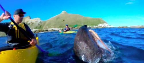 La foca emerge con il polpo vivo in bocca