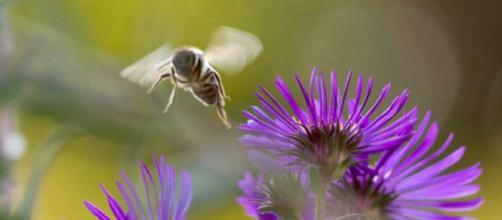 il glifosato nelle piante rovina l'intestino delle api, uccidendole.