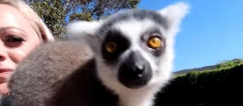 Cutest animal contenst by FaZe Rug on you tube - a lemur - Image credit - FaZe Rug | YouTube