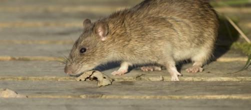Nottingham Pest Control Rats - nottinghampestcontrol.co.uk