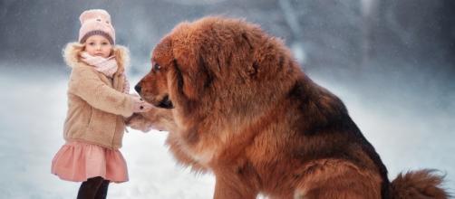 Mastim Tibetano, o cão que é mais caro do que a maioria dos carros de luxo