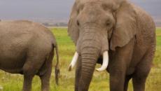 Botswana, trovate 87 carcasse di elefanti