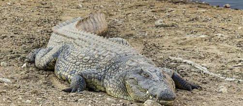 Un cocodrilo gigante devoró a una mujer y a su bebé en un lago de Uganda
