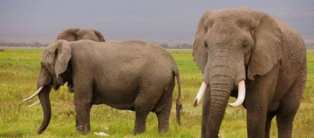 Elefanti africani: strage di 87 esemplari nell'ultimo rifugio in Botswana