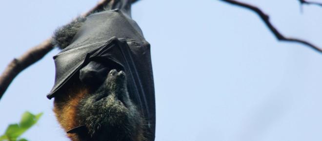 Biblioteca de ultrassons de morcegos é desenvolvida por pesquisadores brasileiros