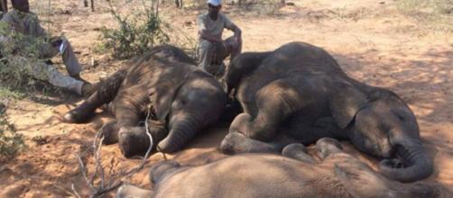 87 elefantes africanos fueron asesinados en África