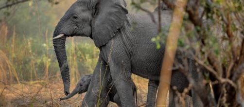 87 cadáveres de elefantes fueron descubiertos en Botsuana. Esto debido a la caza furtiva, con fines de comercializar sus colmillos.
