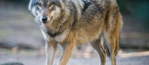 les loups recherchent un droit de cité à Berlin