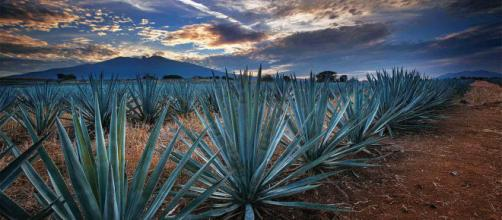 Tequila, Jalisco, cuenta con un paisaje agavero inigualable /Guadalajara - com.mx