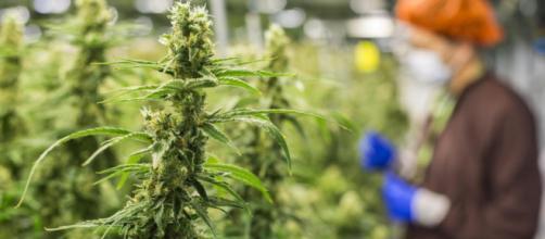 Si riapre il dibattito sulla legalizzazione della cannabis