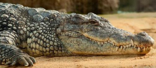 Cientista é devorada por crocodilo (Foto: Pixabay)