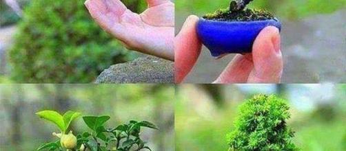 Cultivo de Bonsai (Reprodução)