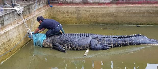 Indonesia, coccodrillo uccide Deasy Tuwo.