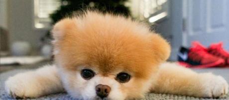 Le chien le plus mignon du monde n'est plus de ce monde