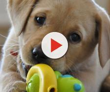 Allarme parvovirosi: il virus che uccide molti cani in Italia.