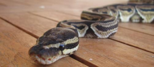 Australia, trovano un pitone nel wc di casa, famiglia salvata dal 'cacciatore di serpenti'