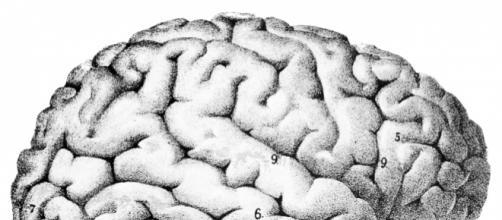 O cérebro humano desenhado por Sanger Brown M.D. (Wikimedia Commons)