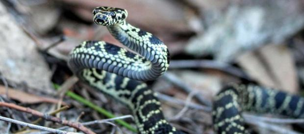 An Australian woman was bitten on the behind by a carpet snake in the toilet. [Image Alex Tomlinson/Wikimedia]