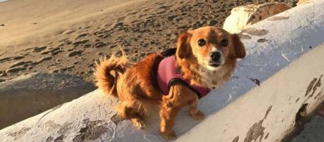 This little dog was stolen on the beach in La Cala de Mijas, Spain but was found. [Image credit - Own Work - Anne Sewell]