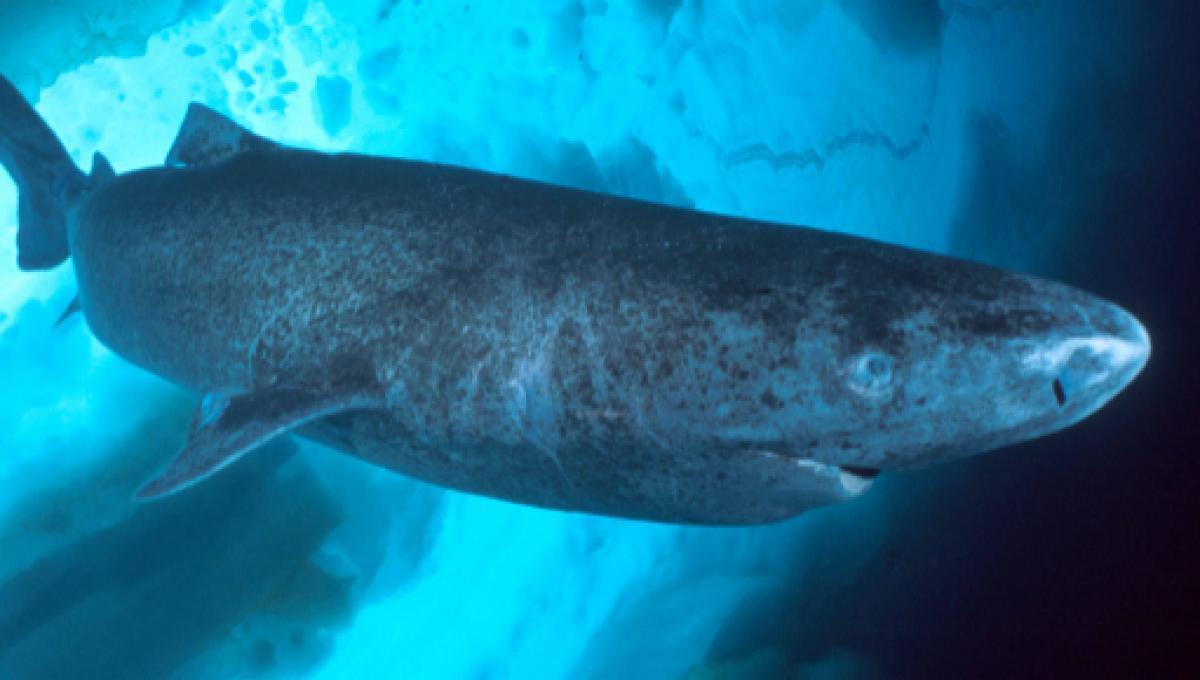 El tiburón de Groenlandia puede vivir hasta 400 años