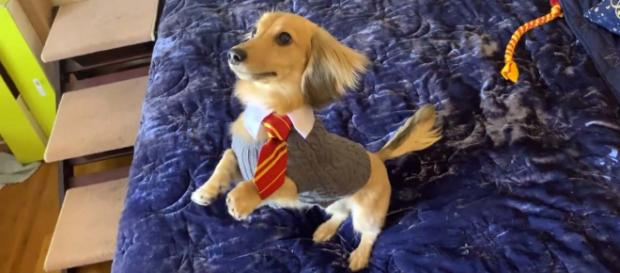 A dog who only responds to Harry Potter spells is one of the weird stories so far this week. [Image Brizzy Voices/YouTube]