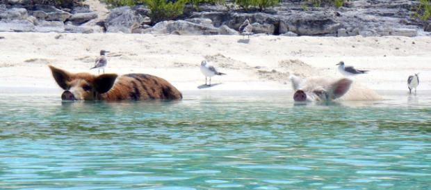 Swim with feral pigs on a visit to the Caribbean. [Image cdorobek/Wikimedia]
