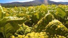 Philip Morris e Coldiretti, nuovo accordo: Italia primo produttore europeo di tabacco